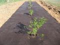 Paillis Biodégradable Plantcobio PLA NT- 1,60 x 100 m