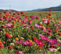 Jachère fleurie Jour de Fête 4kg